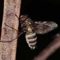 Entomophthora sp. (genus) (Puppeteer Fungus) at Goorooyarroo - 6 Nov 2020 by kasiaaus