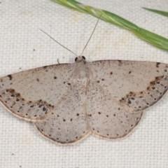 Taxeotis intextata (Looper Moth, Grey Taxeotis) at Forde, ACT - 6 Nov 2020 by kasiaaus