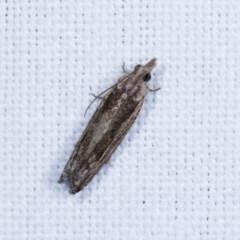 Spilonota-group (A Tortricid moth) at Goorooyarroo - 6 Nov 2020 by kasiaaus