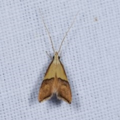 Crocanthes prasinopis (A Curved -horn moth) at Goorooyarroo - 6 Nov 2020 by kasiaaus