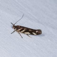 Macrobathra heminephela (Silver Wattle Moth) at Goorooyarroo - 6 Nov 2020 by kasiaaus