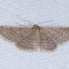 Idaea (genus) (A Geometer Moth) at Goorooyarroo - 6 Nov 2020 by kasiaaus