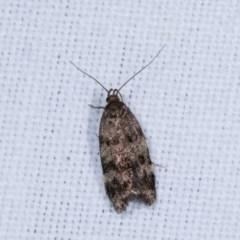 Barea phaeomochla (A concealer moth) at Goorooyarroo - 6 Nov 2020 by kasiaaus