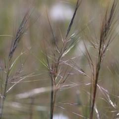 Austrostipa scabra (Corkscrew Grass) at Felltimber Creek NCR - 8 Nov 2020 by Kyliegw