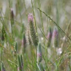 Trifolium angustifolium var. angustifolium (Narrowleaf Clover) at Felltimber Creek NCR - 8 Nov 2020 by Kyliegw