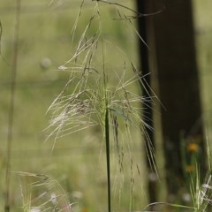 Austrostipa sp. (genus) (A corkscrew grass) at Wodonga - 7 Nov 2020 by Kyliegw