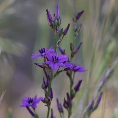 Arthropodium fimbriatum (Chocolate Lily) at Wodonga - 7 Nov 2020 by Kyliegw