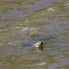 Emydura macquarii (Macquarie Turtle) at Jerrabomberra Wetlands - 8 Nov 2020 by davidcunninghamwildlife