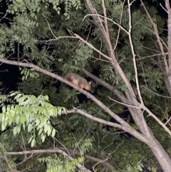 Trichosurus vulpecula (Common Brushtail Possum) at Red Hill Nature Reserve - 7 Nov 2020 by Tapirlord