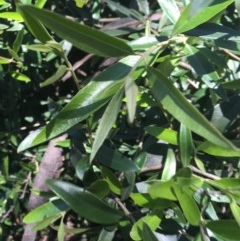 Olea europaea subsp. cuspidata (African Olive) at Red Hill Nature Reserve - 8 Nov 2020 by Tapirlord