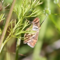 Scopula rubraria at Yatteyattah Nature Reserve - 8 Nov 2020