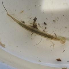 Dytiscidae sp. (family) (Unidentified diving beetle) at Goorooyarroo - 7 Nov 2020 by Waterwatch