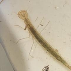 Dytiscidae sp. (family) at Goorooyarroo - 7 Nov 2020