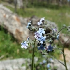 Cynoglossum australe (Australian Forget-me-not) at Mount Mugga Mugga - 8 Nov 2020 by Mike