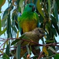 Psephotus haematonotus (Red-rumped Parrot) at Kama - 9 Nov 2020 by Kurt
