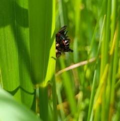 Carphurus sp. (genus) (Soft-winged flower beetle) at Goorooyarroo - 6 Nov 2020 by YumiCallaway