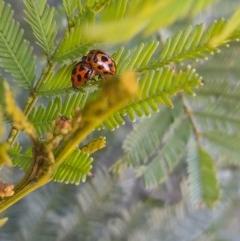 Peltoschema oceanica (Oceanica leaf beetle) at Goorooyarroo - 6 Nov 2020 by YumiCallaway