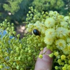 Dicranosterna immaculata (Acacia leaf beetle) at Goorooyarroo - 6 Nov 2020 by YumiCallaway