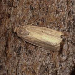 Athetis tenuis (A Noctuid moth) at Goorooyarroo - 6 Nov 2020 by kasiaaus