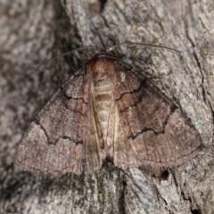 Dysbatus undescribed species (A Line-moth) at Goorooyarroo - 6 Nov 2020 by kasiaaus