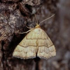 Meranda susialis (Three-lined Snout Moth) at Goorooyarroo - 6 Nov 2020 by kasiaaus