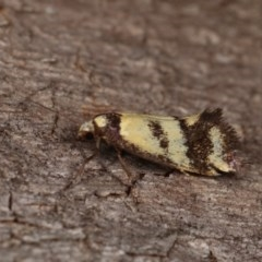 Olbonoma triptycha (Concealer moth) at Goorooyarroo - 6 Nov 2020 by kasiaaus