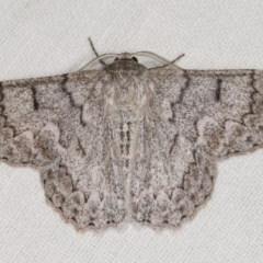Crypsiphona ocultaria (Red-lined Looper Moth) at Goorooyarroo - 6 Nov 2020 by kasiaaus