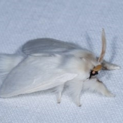 Trichiocercus sparshalli (Sparshall's Moth) at Goorooyarroo - 6 Nov 2020 by kasiaaus