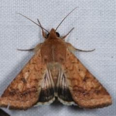 Helicoverpa (genus) (A bollworm) at Goorooyarroo - 6 Nov 2020 by kasiaaus