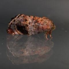 Peritropha oligodrachma (A twig moth) at Melba, ACT - 7 Nov 2020 by kasiaaus