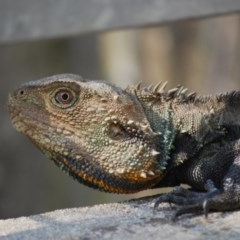 Intellagama lesueurii (Eastern Water Dragon) at Umbagong District Park - 8 Nov 2020 by mac084