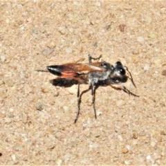 Podalonia tydei (Caterpillar-hunter wasp) at National Arboretum Forests - 9 Nov 2020 by JohnBundock