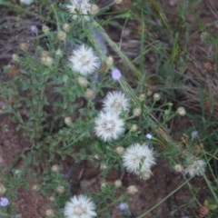 Vittadinia cuneata var. cuneata (Fuzzy New Holland Daisy) at Hughes Grassy Woodland - 9 Nov 2020 by LisaH