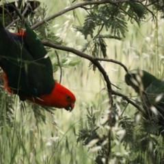 Alisterus scapularis (Australian King-Parrot) at Lower Molonglo - 6 Nov 2020 by jbromilow50