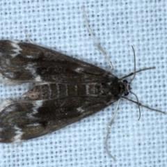 Hygraula nitens (Australian Pond Moth) at Goorooyarroo - 6 Nov 2020 by jbromilow50