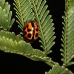 Peltoschema oceanica (Oceanica leaf beetle) at Goorooyarroo - 7 Nov 2020 by kasiaaus