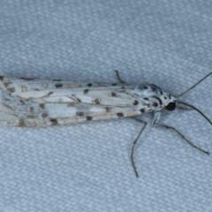 Utetheisa pulchelloides (Heliotrope Moth) at Goorooyarroo - 6 Nov 2020 by jbromilow50
