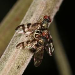 Rivellia sp. (genus) (Signal fly) at Goorooyarroo - 7 Nov 2020 by kasiaaus