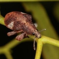 Gonipterus pulverulentus (Eucalyptus weevil) at Goorooyarroo - 7 Nov 2020 by kasiaaus