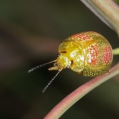 Paropsisterna fastidiosa (Eucalyptus leaf beetle) at Goorooyarroo - 7 Nov 2020 by kasiaaus