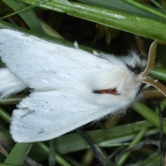 Trichiocercus sparshalli (Sparshall's Moth) at Goorooyarroo - 6 Nov 2020 by jbromilow50