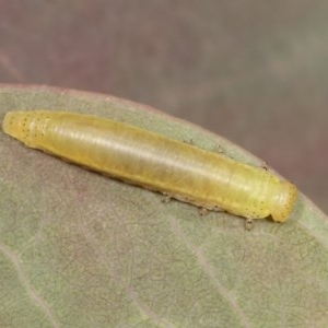 Chrysomelidae sp. (family) at Goorooyarroo - 7 Nov 2020
