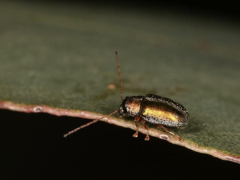Eboo sp. (genus) at Goorooyarroo - 7 Nov 2020