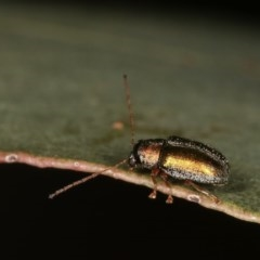 Eboo sp. (genus) (Eboo leaf beetle) at Goorooyarroo - 7 Nov 2020 by kasiaaus