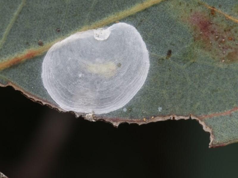 Lasiopsylla rotundipennis at Goorooyarroo - 7 Nov 2020