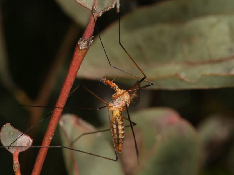Leptotarsus (Macromastix) sp. (genus & subgenus) at Goorooyarroo - 7 Nov 2020