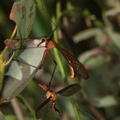 Harpobittacus australis (Hangingfly) at Goorooyarroo - 7 Nov 2020 by kasiaaus