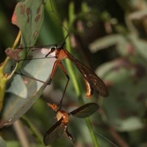 Harpobittacus australis at Goorooyarroo - 7 Nov 2020