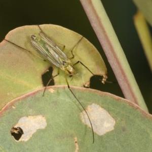 Chironomidae sp. (family) at Goorooyarroo - 7 Nov 2020