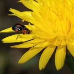 Dicranolaius villosus (Melyrid flower beetle) at Goorooyarroo - 7 Nov 2020 by kasiaaus
